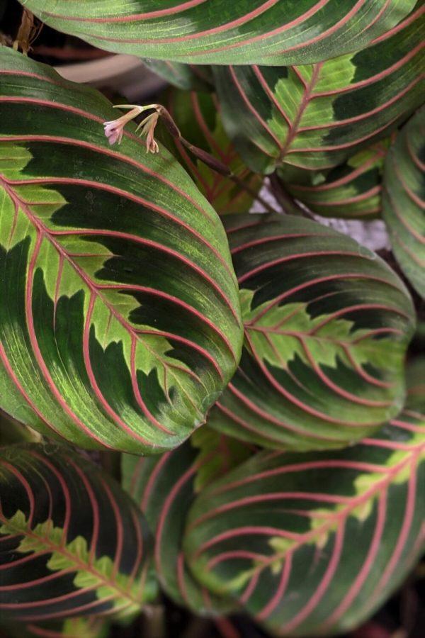 Maranta prayer plant close up