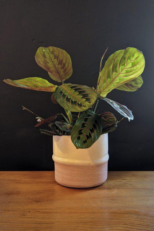 Maranta prayer plant in ceramic pot