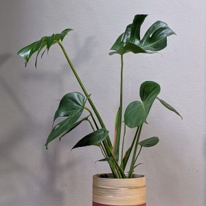 Monstera in bamboo dipped pot