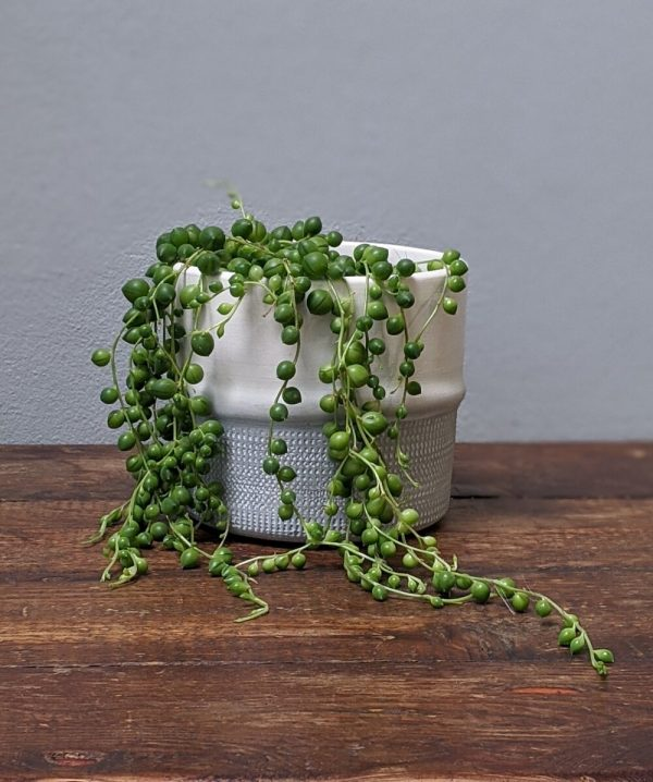 String of Pearl plant in grey planter