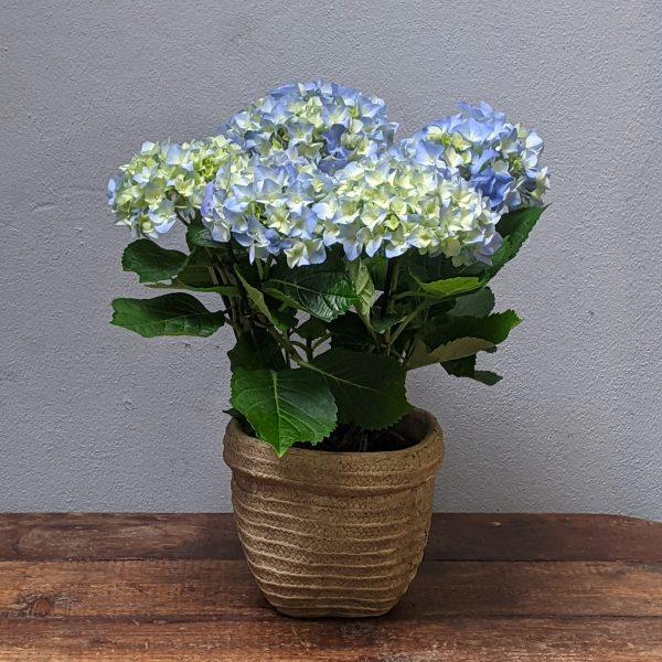 Hydrangea plant in cement pot