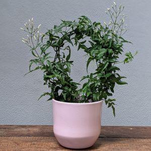 Jasmaine plant